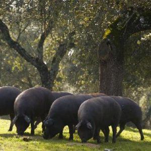 Pata negra, black hoof